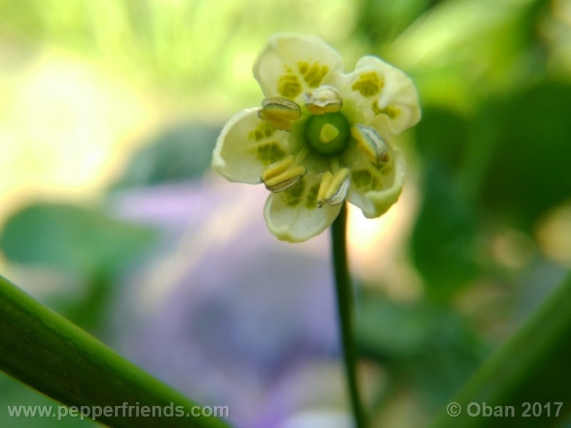 aji-amarillo_004_frutto_01.jpg