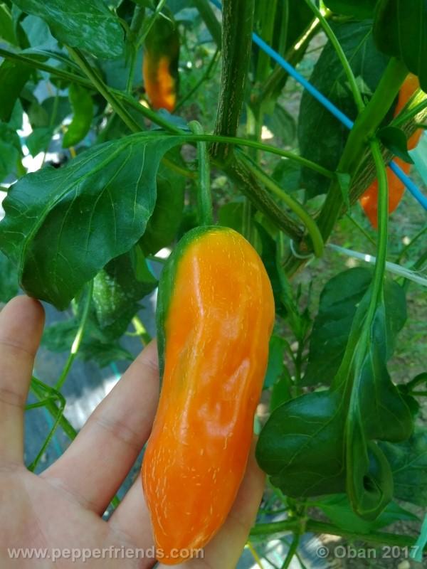 aji-amarillo_004_frutto_08.jpg