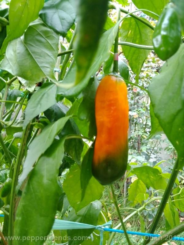aji-amarillo_004_frutto_16.jpg