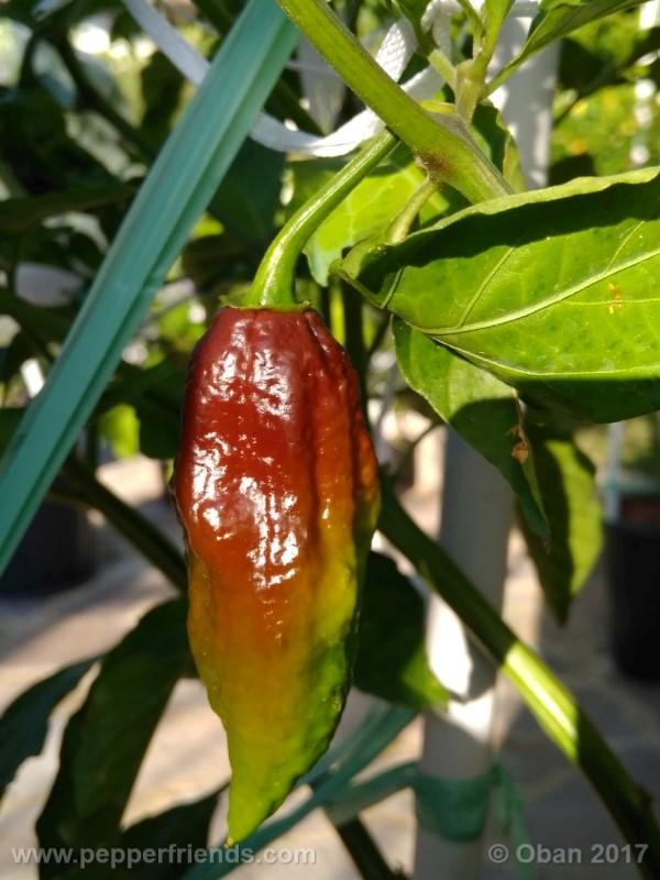 bhut-jolokia-chocolate_003_frutto_11.jpg