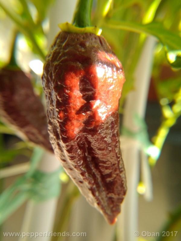 bhut-jolokia-chocolate_003_frutto_24.jpg