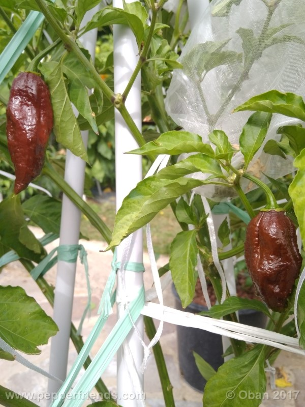 bhut-jolokia-chocolate_003_pianta_13.jpg