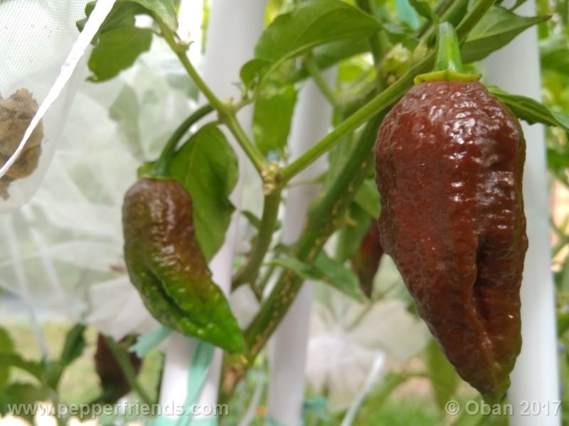 bhut-jolokia-chocolate_003_pianta_14.jpg