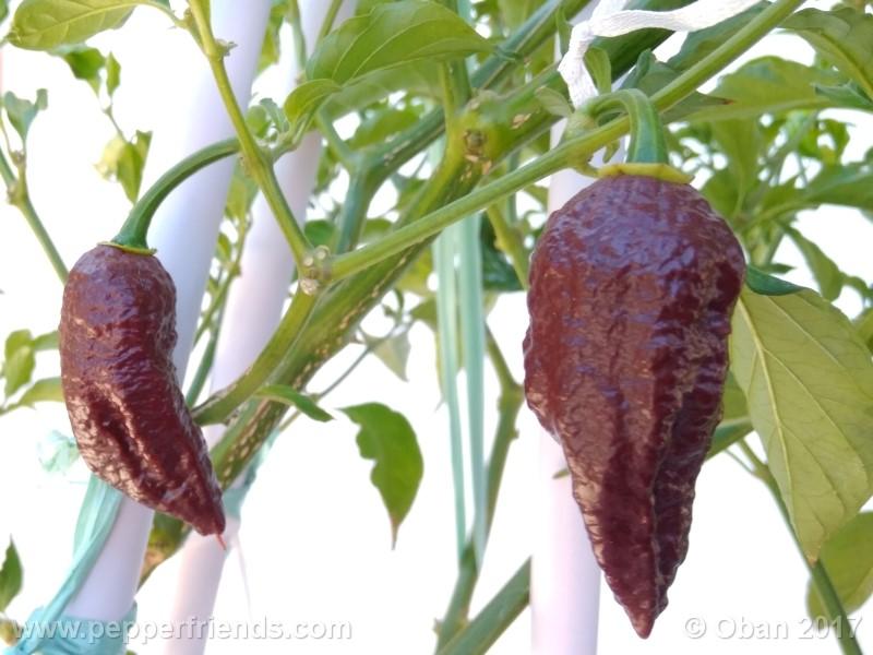 bhut-jolokia-chocolate_003_pianta_15.jpg