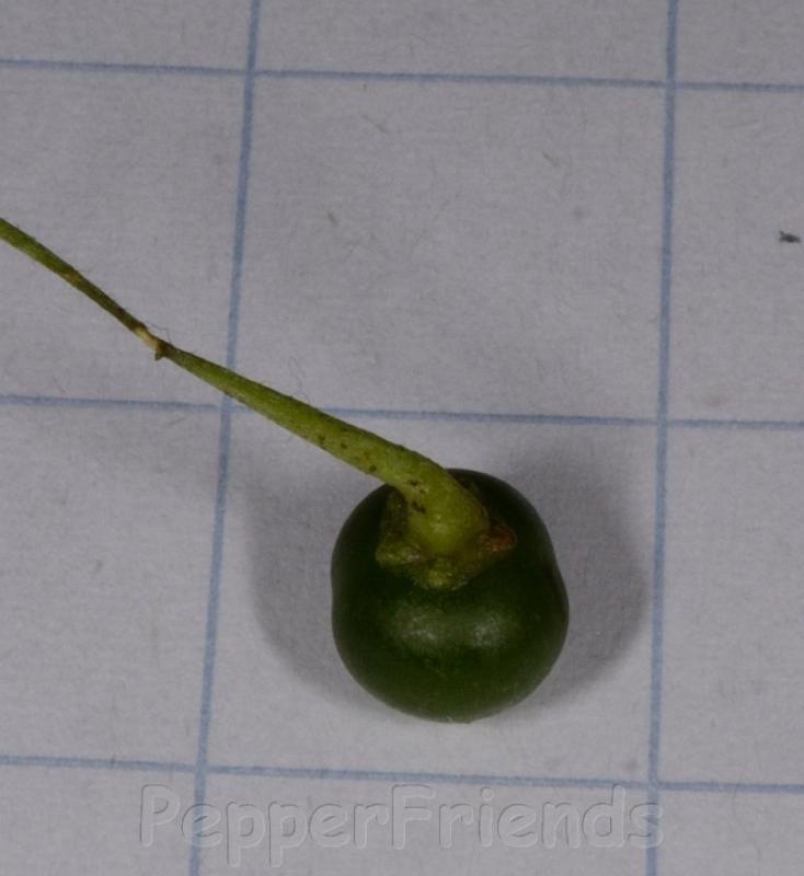 http://www.pepperfriends.org/uploads/capsicum-campylopodium/001/campylopodium4.jpg