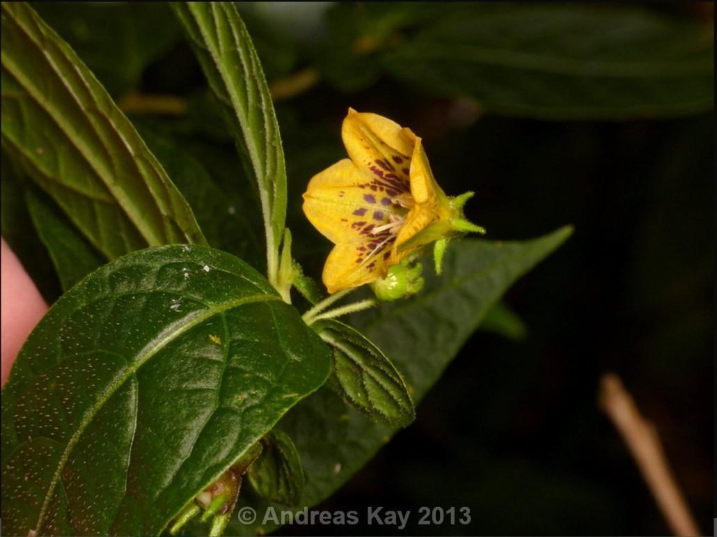 http://www.pepperfriends.org/uploads/capsicum-geminifolium/001/capsicum-lycianthoides_fiore_03.jpg