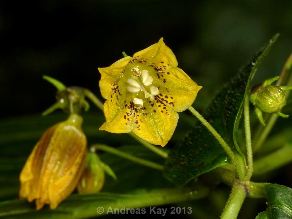 http://www.pepperfriends.org/uploads/capsicum-geminifolium/001/capsicum-lycianthoides_fiore_05.jpg