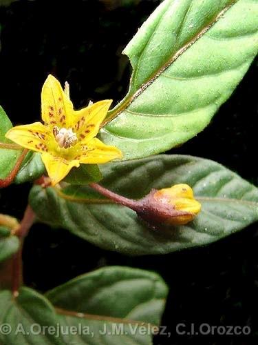 http://www.pepperfriends.org/uploads/capsicum-geminifolium/001/capsicum-lycianthoides_fiore_12.jpg