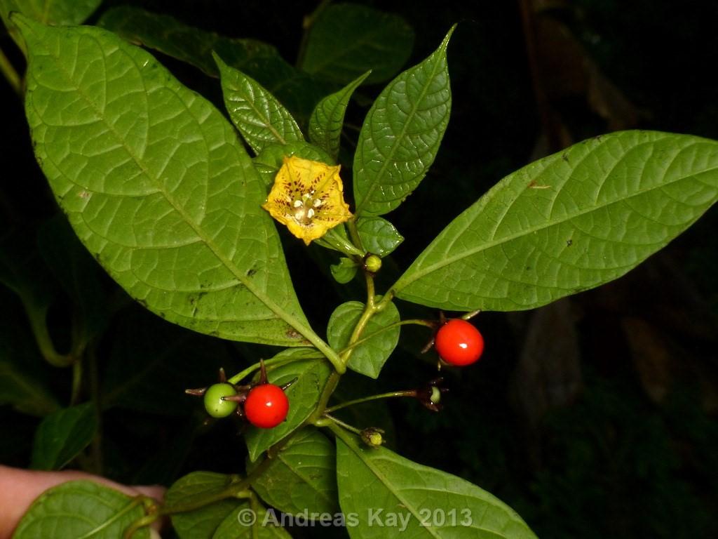 http://www.pepperfriends.org/uploads/capsicum-geminifolium/001/capsicum-lycianthoides_frutto_01.jpg