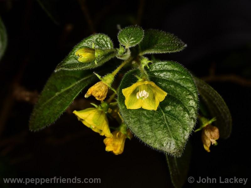 http://www.pepperfriends.org/uploads/ciliatum/004/ciliatum_004_fiore_05.jpg