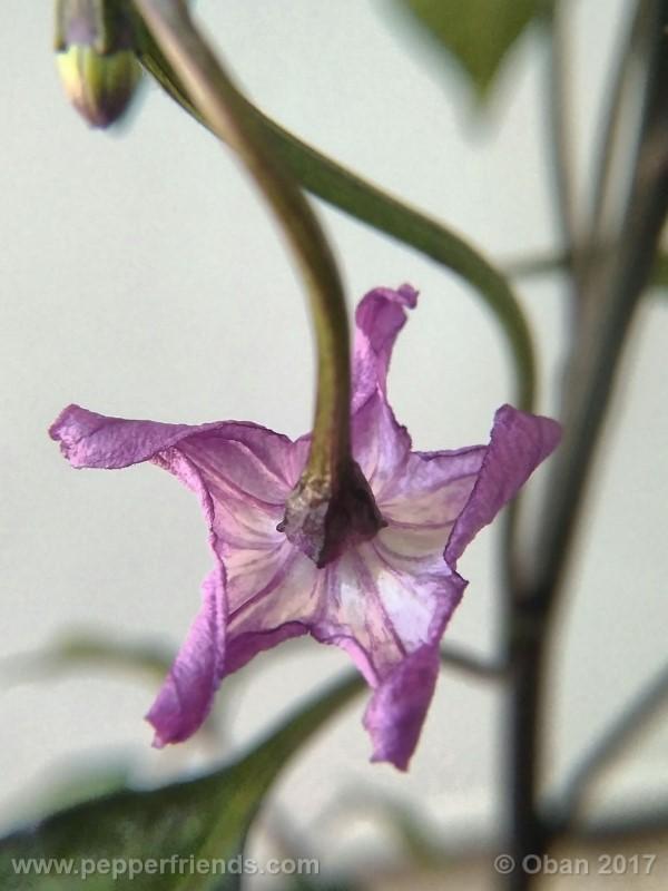 naga-jolokia-purple_002_fiore_11.jpg