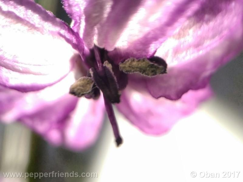 naga-jolokia-purple_002_fiore_13.jpg