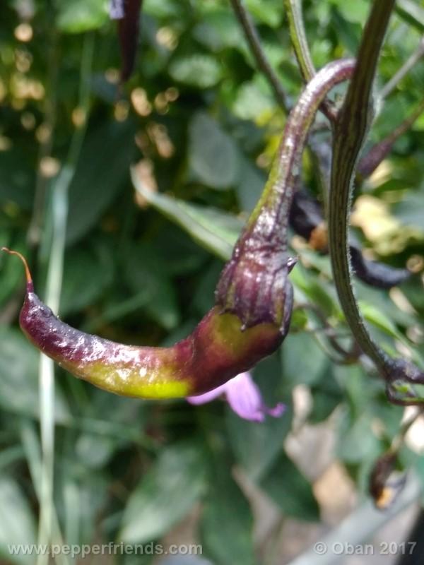 naga-jolokia-purple_002_frutto_05.jpg
