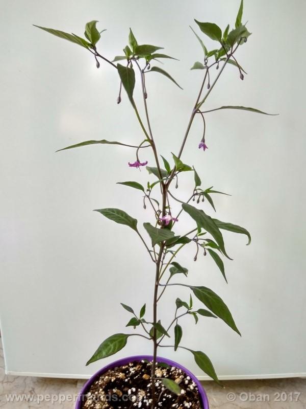 naga-jolokia-purple_002_pianta_09.jpg