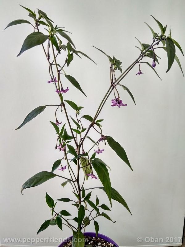 naga-jolokia-purple_002_pianta_10.jpg
