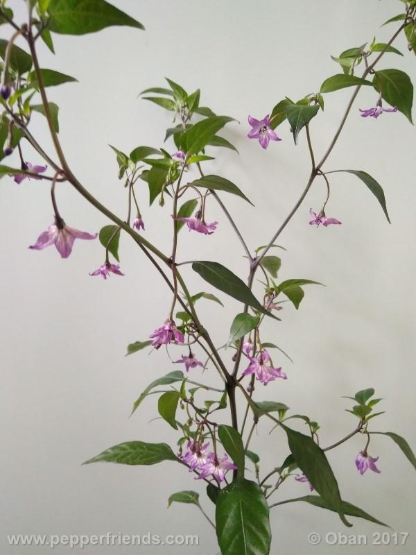 naga-jolokia-purple_002_pianta_11.jpg