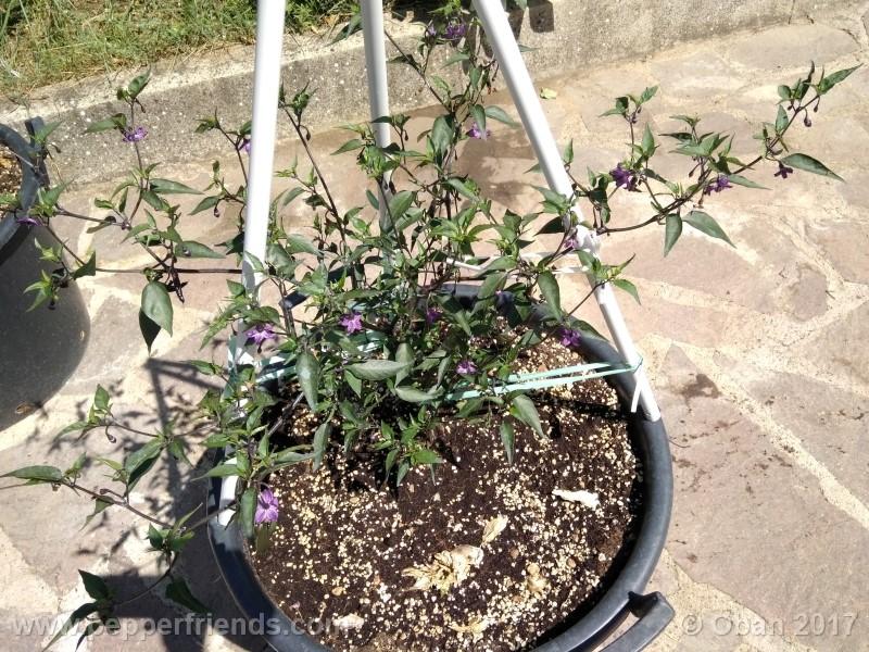 naga-jolokia-purple_002_pianta_14.jpg