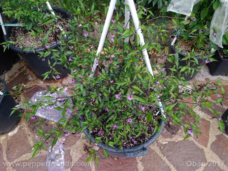 naga-jolokia-purple_002_pianta_16.jpg