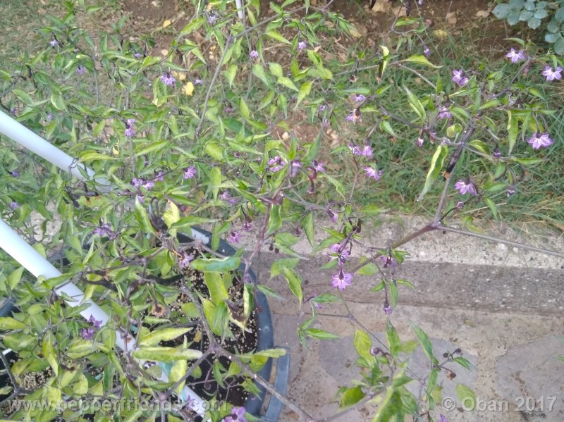 naga-jolokia-purple_002_pianta_20.jpg