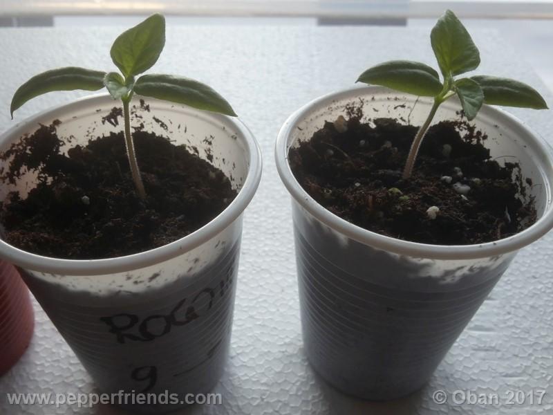 rocoto-brown_001_pianta_06.jpg