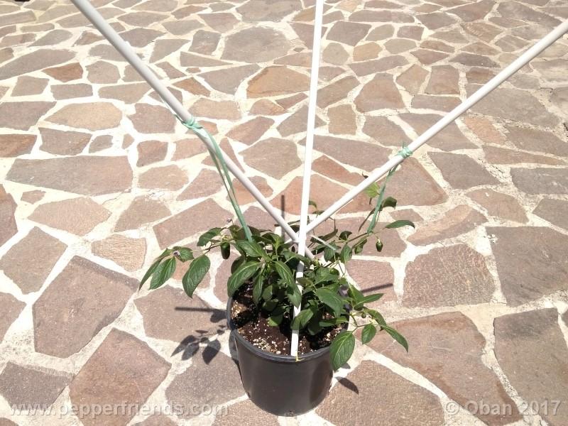 rocoto-montufar_001_pianta_30.jpg