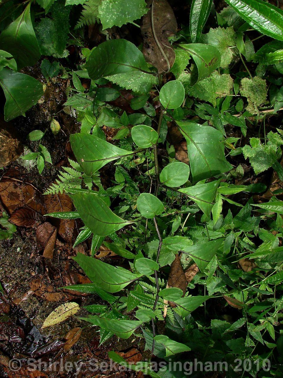 Capsicum-geminifolium_pianta_21.jpg
