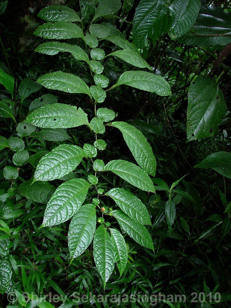 Capsicum-lycianthoides_pianta_21.jpg