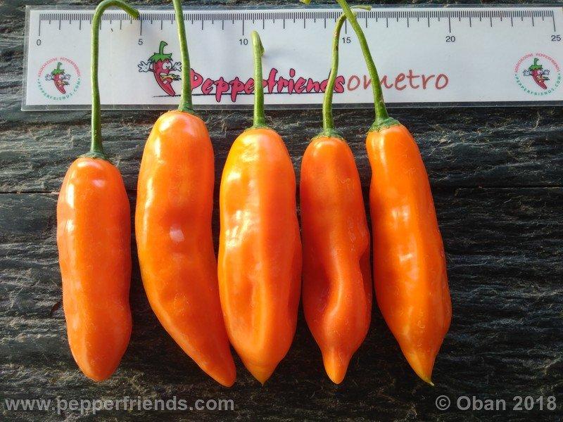 https://www.pepperfriends.org/uploads/aji-amarillo/006/aji-amarillo_006_frutto_12.jpg