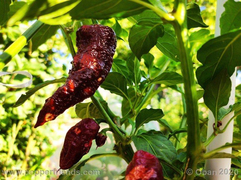 bhut-jolokia-chocolate_005_frutto_15.jpg