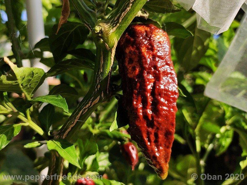 bhut-jolokia-chocolate_005_frutto_16.jpg