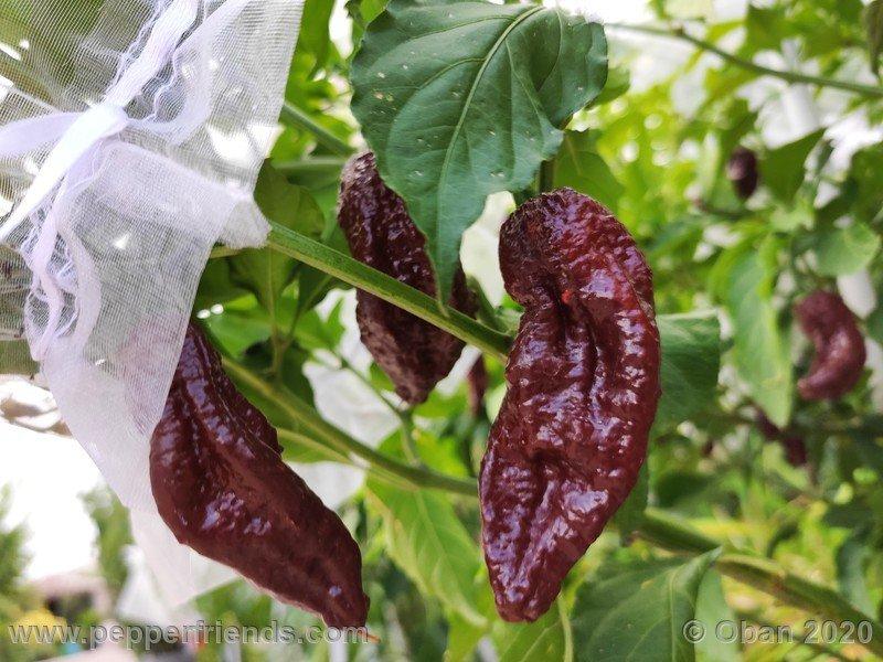 bhut-jolokia-chocolate_005_frutto_18.jpg