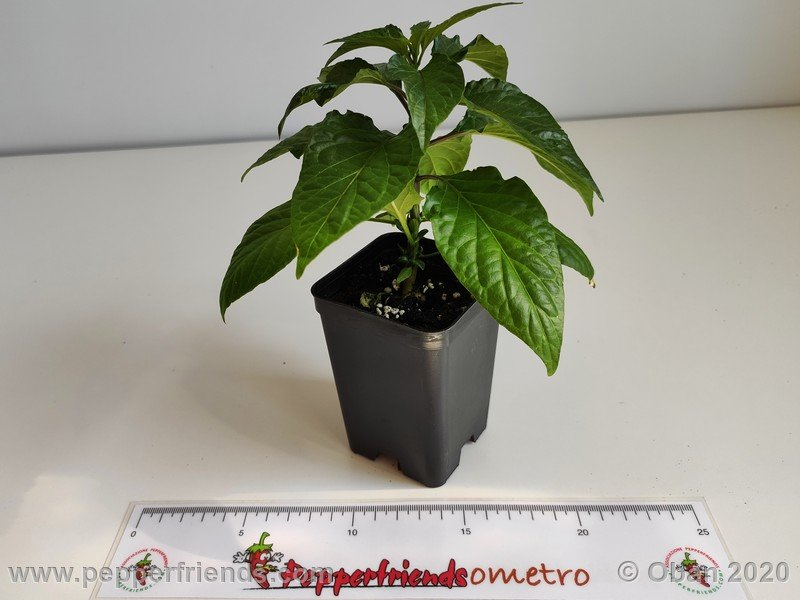 bhut-jolokia-chocolate_005_pianta_05.jpg
