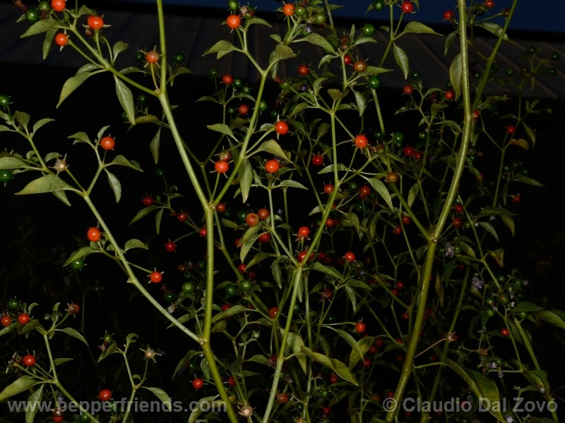 cardenasii_002_pianta_27.jpg
