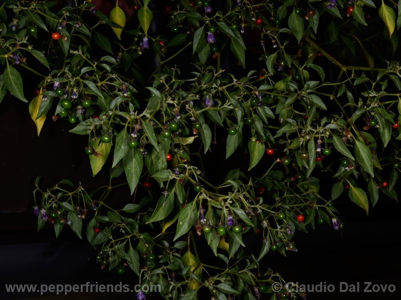 cardenasii_002_pianta_29.jpg