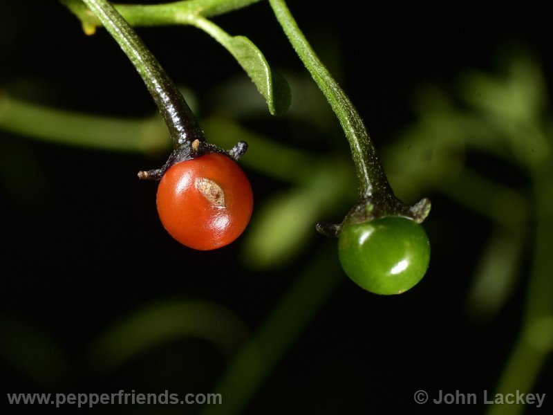 cardenasii_003_frutto_5.jpg