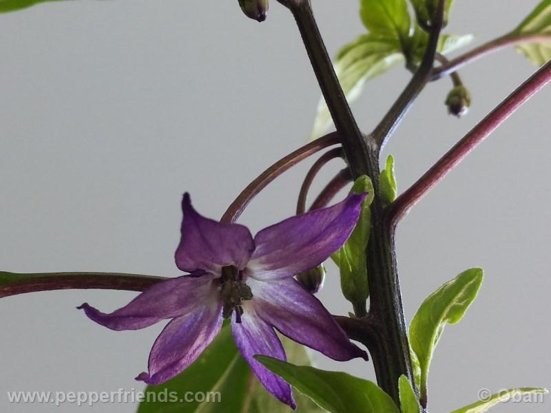 cayenne-purple_001_fiore_%2002.jpg