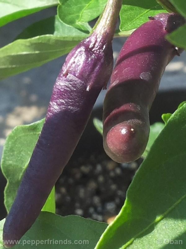 cayenne-purple_001_frutto_%2005.jpg