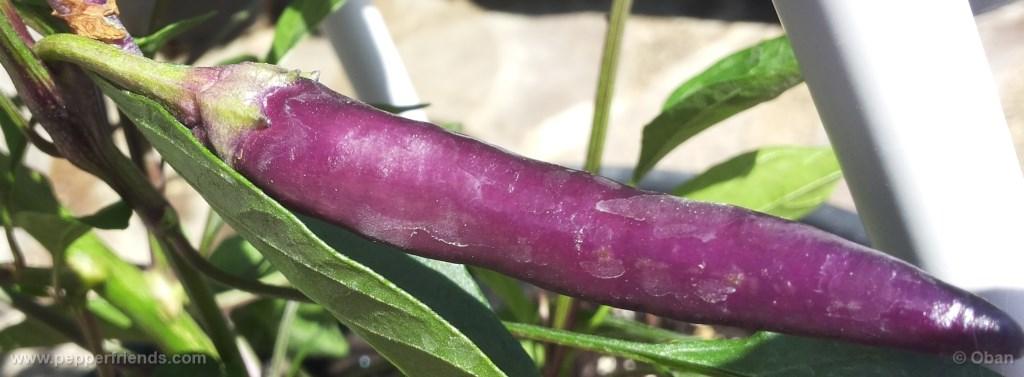 cayenne-purple_001_frutto_%2006.jpg