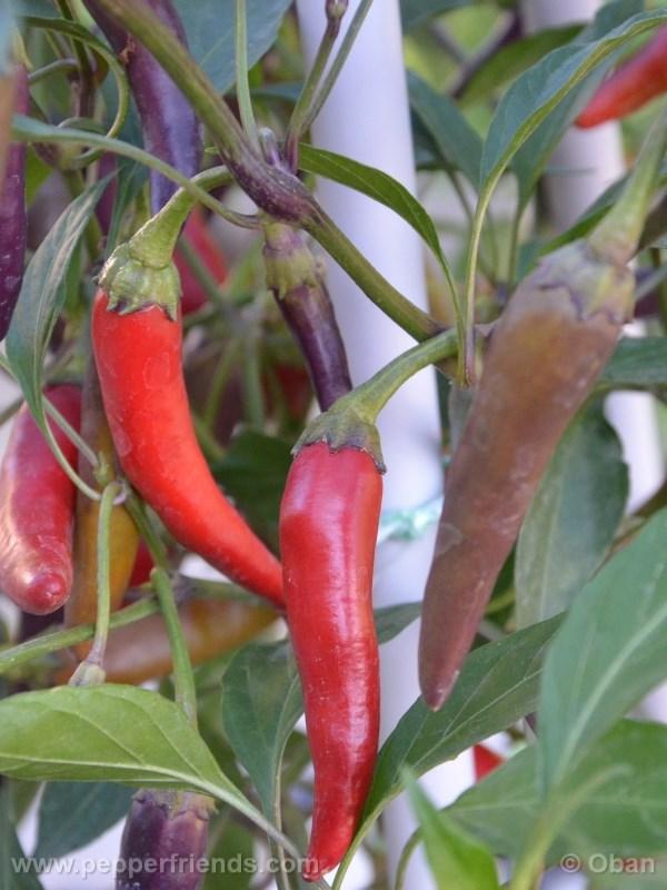 cayenne-purple_001_frutto_%2008.jpg