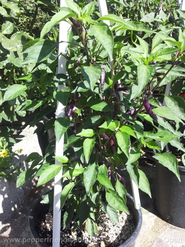 cayenne-purple_001_pianta_%2009.jpg