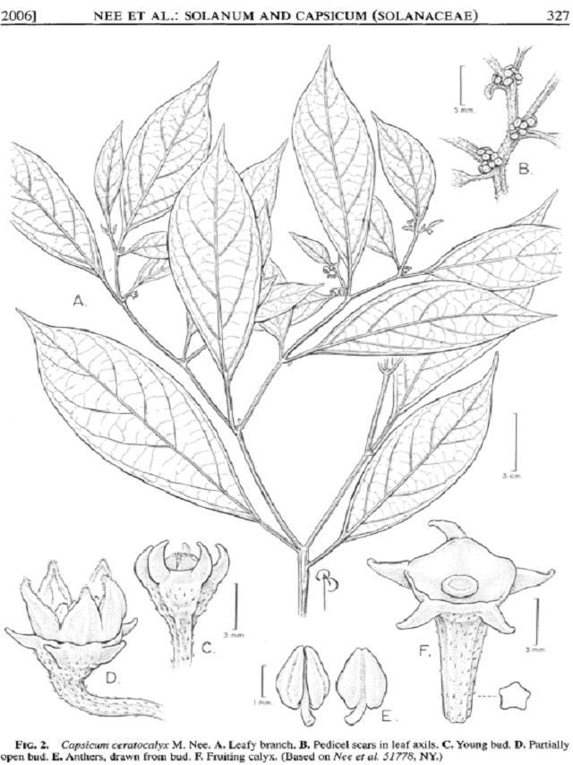 ceratocalyx1.jpg
