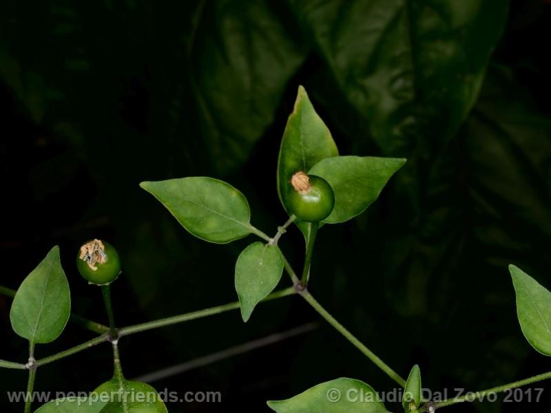 chiltepin-amarillo_001_frutto_01.jpg