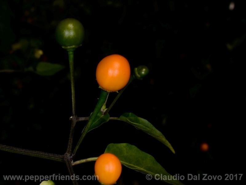 https://www.pepperfriends.org/uploads/chiltepin-amarillo/001/chiltepin-amarillo_001_frutto_04.jpg