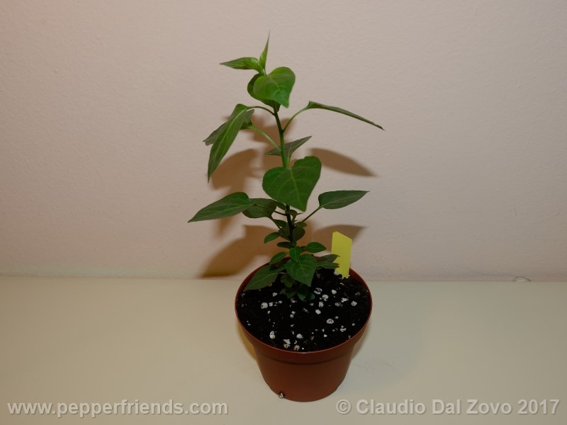 chiltepin-amarillo_001_pianta_02.jpg