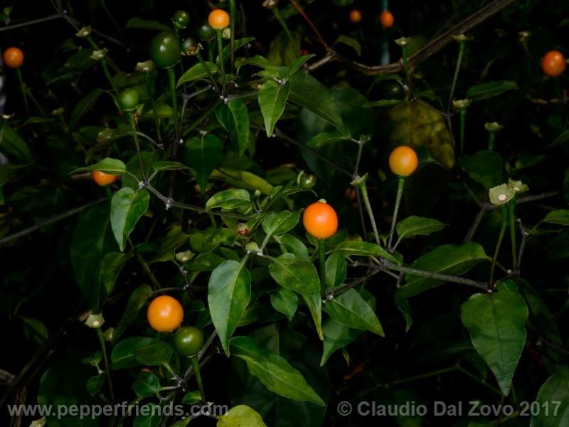 chiltepin-amarillo_001_pianta_10.jpg