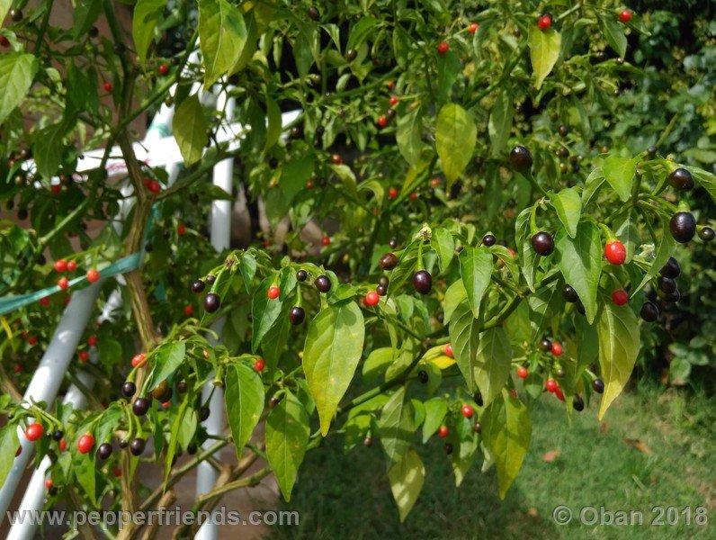 nome-cultivar_001_pianta_13.jpg