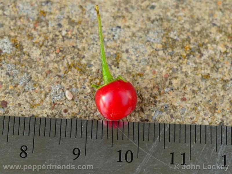 ciliatum_002_frutto_02.jpg
