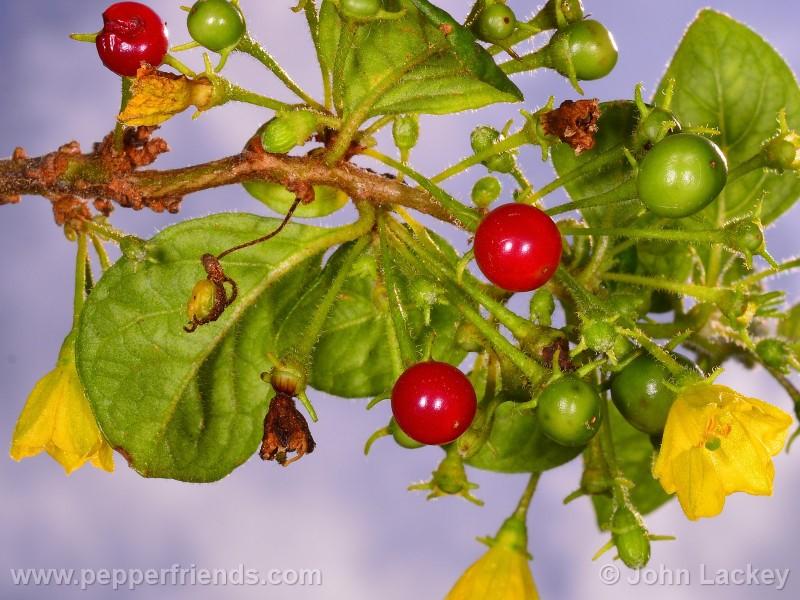 ciliatum_004_frutto_03.jpg