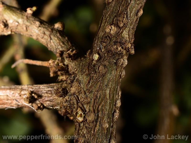 ciliatum_004_pianta_06.jpg