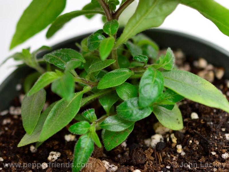 lanceolatum_002_pianta_02.jpg